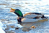 Mallard Drake Eating a Shad